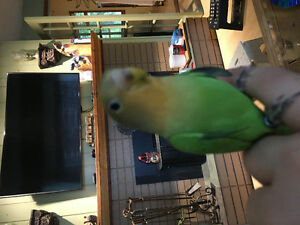 Selling my hand raised DNA male love bird