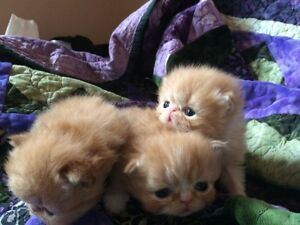 Registered Persian kittens! Only one male left!!