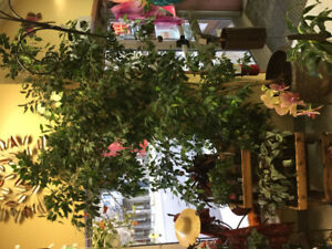 Large Ficus COME MAKE AN OFFER