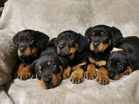 Beautiful Rottweiler Puppies