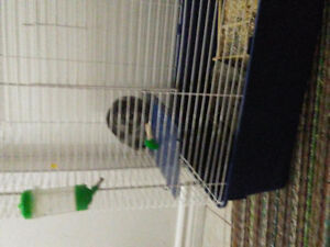 Chinchilla super gentil