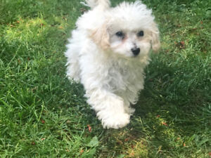 POODLE FEMALE 6 MONTHS AND MALTIPOO 12 WEEKS