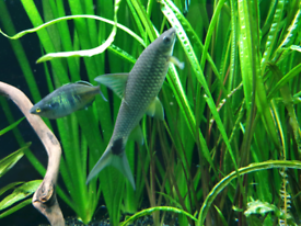 Silver Flying Fox algae eater fish