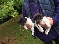 Jack Russell puppies short legged
