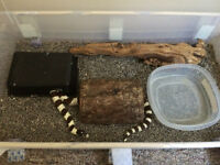 Female California King Snake