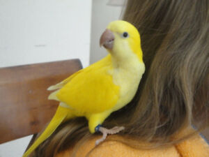 Hand raised super friendly LUTINO QUAKER PARROT BABY