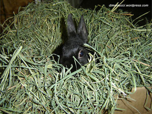 WANTED: High Quality Timothy Hay for Bunnies