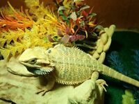 Juvi bearded dragon + everything needed