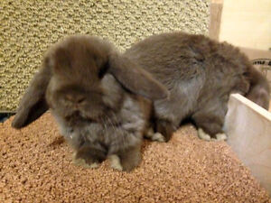 Chocolate Holland Lop Does (Female Rabbits for sale)!