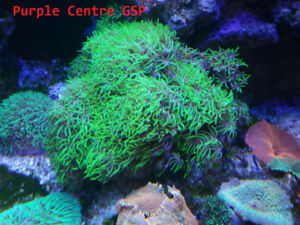 Coral Frags - LPS, SPS, Zoas