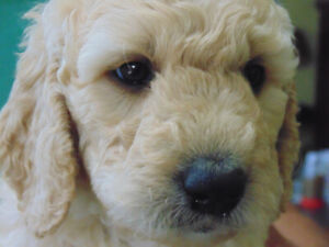 Golden Doodle Puppy | Adopt Dogs & Puppies Locally in