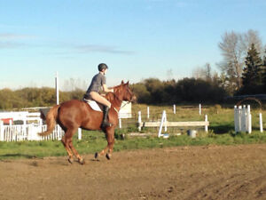 8 yr old Belgian/QH mare