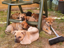 Rare Husky x Thai Ridgeback puppies