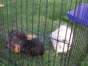 Needing to find a new home for our 2 Guinea pigs  Strathcona County Edmonton Area image 3