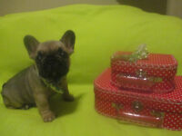 **Rare & High Quality** Red & Blue French Bulldog Puppies