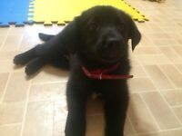Holly-Lab cross-CAARE animal rescue