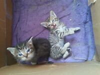 3 male tiger striped kittens now looking for a good home