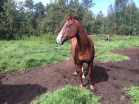 3 yr old Registered Solid Paint Mare