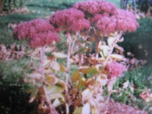 Perennial plants that can go in now for sale