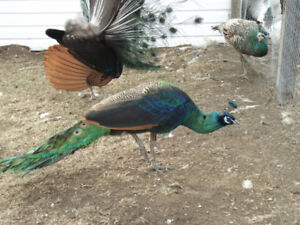 Peahen for sale