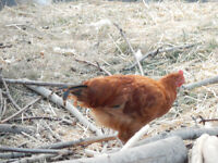 FREE Rhode island red roosters!!