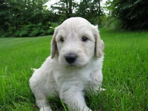 Goldendoodle Puppies - F1B