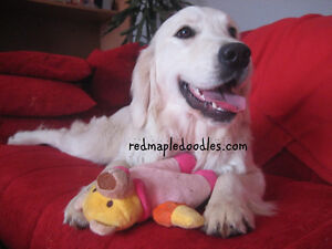 Championship Golden Retriever - Looking for Guardian Home