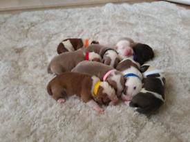 Bully pups. British bulldog staffy