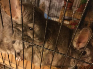 Two chinchilla rehoming
