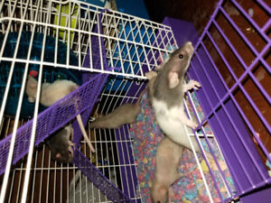 Rats need good homes