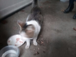 Found stray cat Grey and white River road at LaSalle Rd corunna