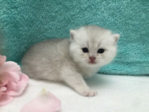 British Shorthair Silver Shaded Blue Eyes