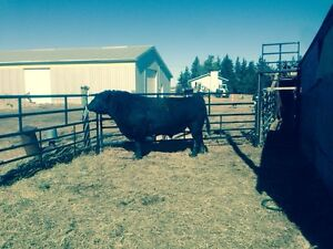 3 year old Angus Bulls for sale(red gene carriers)