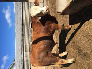 Simmental cross bulls for sale, ready to breed