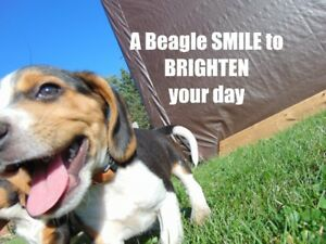 Beagle Pups  - Beautiful Markings, Vet Checked, Vaccinated, etc