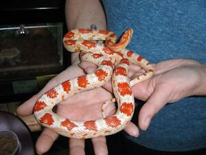ALBINO CORN SNAKES - FEMALE