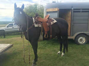 5 year old papered solid paint quarter horse gelding