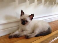 Female Siamese kitten