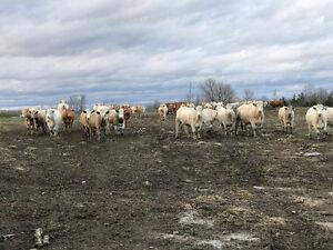 Herd Dispersal Sale - Bred Cows, Cow Calf Pairs, Bulls - Keady