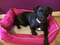 Patterdale X Jack Russell - Female