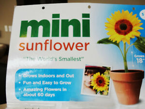 "Selling 20 Brand New Grow Your Own Mini 18"" Tall Sunflowers Kitchener / Waterloo Kitchener Area image 2"