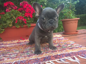 Fawn and sable French Bulldogs for sale