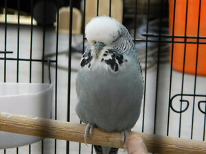 I Am Looking For An English Budgie
