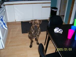 WANTED MALE CANE CORSO OR ROTTIE