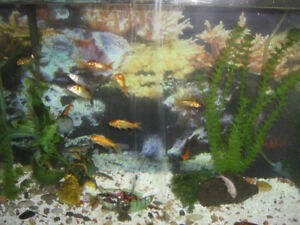 Butterfly Koi fish and Tanks