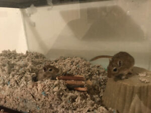 GERBIL PAIR EVERYTHING INCLUDED