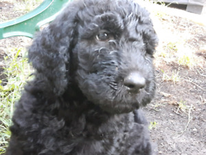 GOLDENDOODLE *NEGOTIABLE*