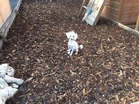 Adorable Toy poodle boy 10 months old L@@K