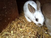 2 White and Brown 8 week old Netherland Dwarf Rabbits