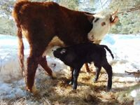 Cow/ Calf Pair